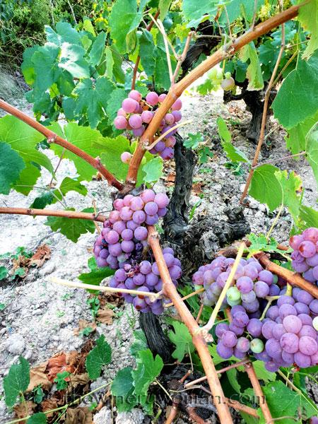 Grapes35_8.24.18_TWW