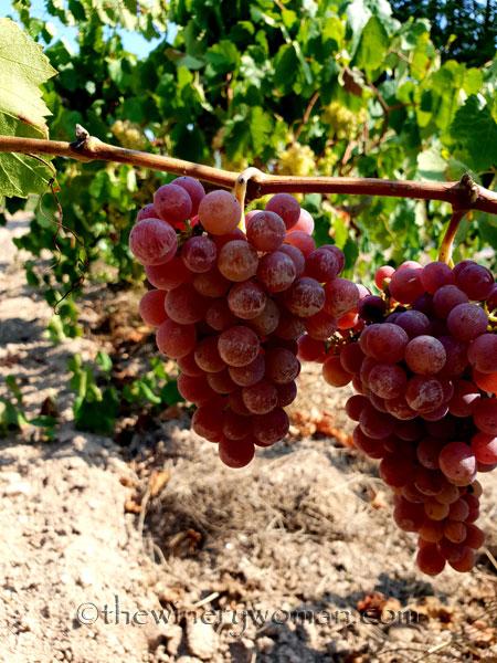 Grapes5_8.24.18_TWW