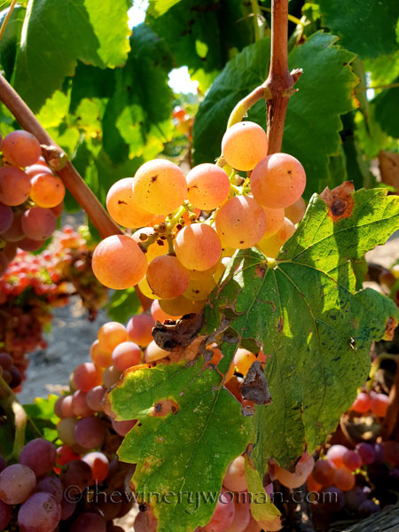 Grapes6_8.24.18_TWW