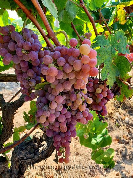 Grapes8_8.24.18_TWW