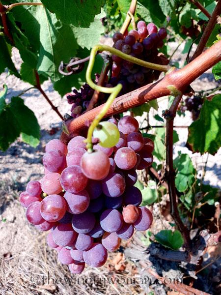Grapes9_8.24.18_TWW