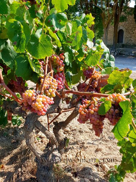 Grapes_8.24.18_TWW