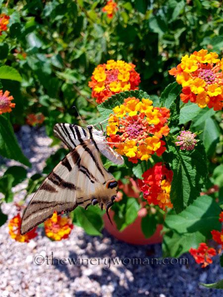 Swallowtail2_8.5.18_TWW