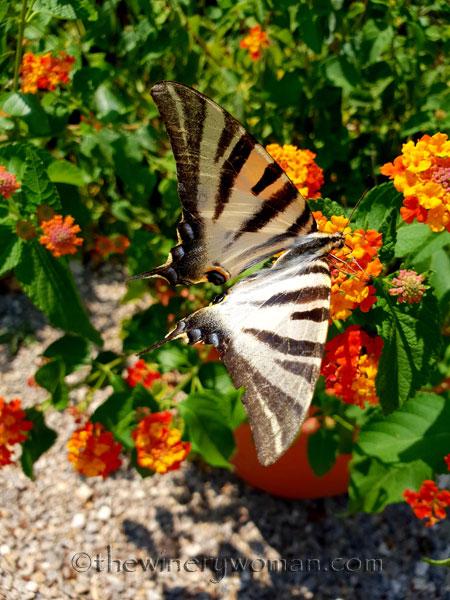 Swallowtail3_8.5.18_TWW