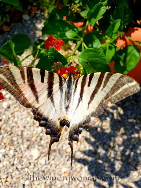 Swallowtail4_8.5.18_TWW