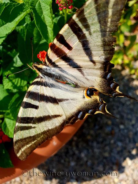 Swallowtail5_8.5.18_TWW