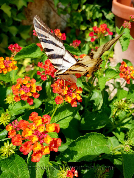 Swallowtail6_8.5.18_TWW