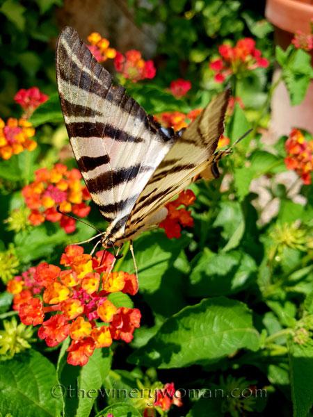 Swallowtail7_8.5.18_TWW