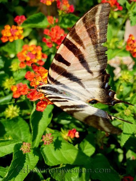 Swallowtail8_8.5.18_TWW