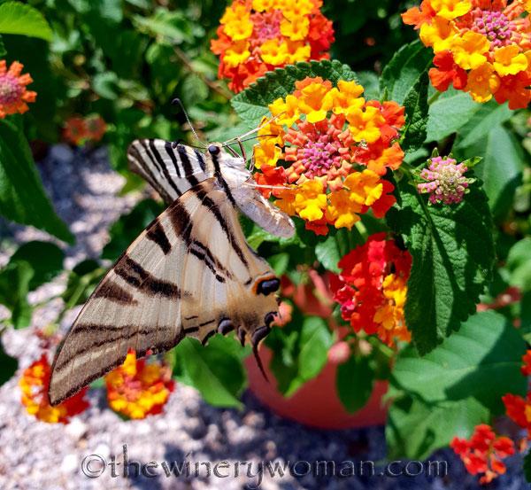 Swallowtail9_8.5.18_TWW