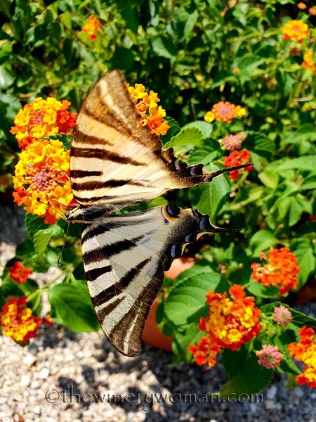 Swallowtail_8.5.18_TWW
