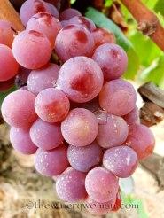 Vineyard14_8.31.18_TWW