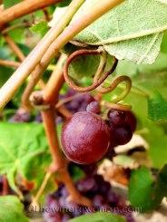 Vineyard15_8.31.18_TWW