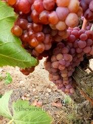 Vineyard17_8.31.18_TWW