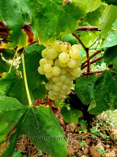 Vineyard5_8.31.18_TWW