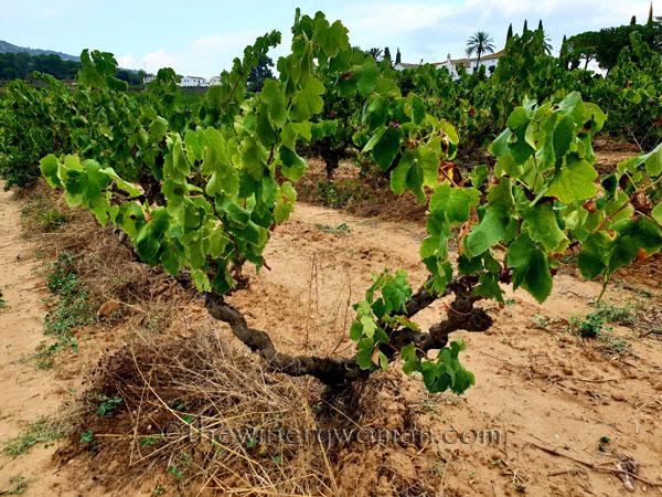 Vineyard6_8.31.18_TWW