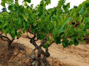 Vineyard7_8.31.18_TWW