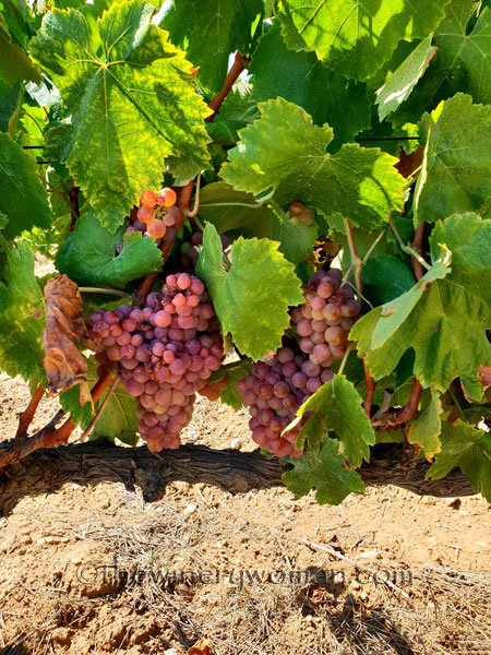 Vineyard_Harvest4_8.14.18_TWW