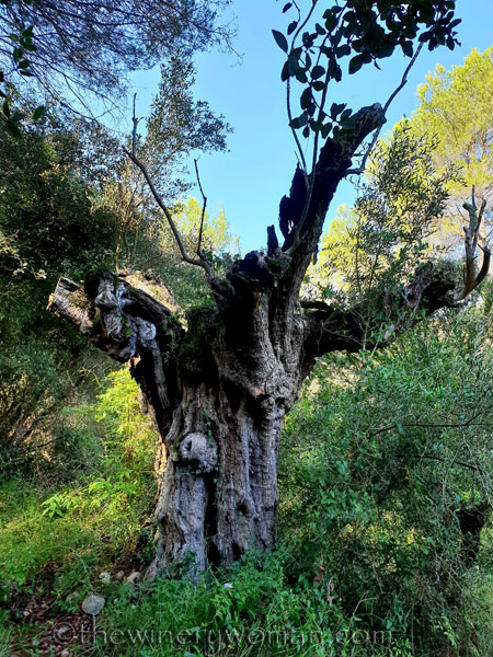 1000_year_old_olive_tree_9.8.18_TWW