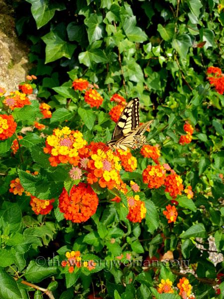 Giant_Swallowtail2_9.1.18_TWW
