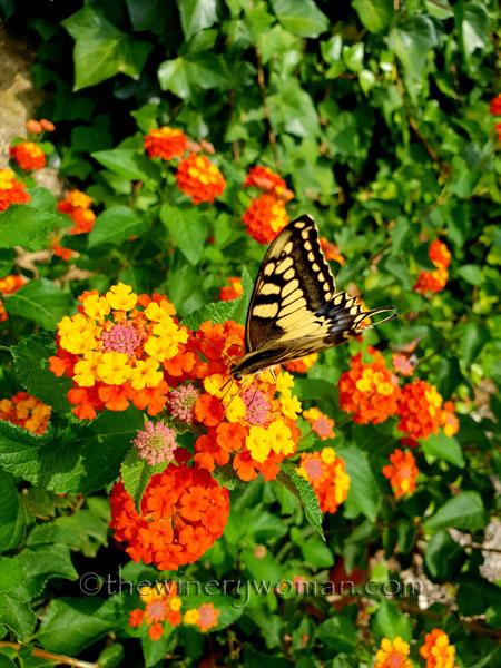 Giant_Swallowtail3_9.1.18_TWW