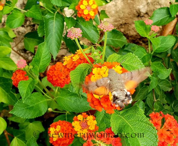 Hummingbird_Hawk_Moth2_9.1.18_TWWjpg