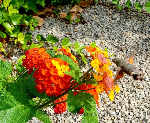 Hummingbird_Hawk_Moth_9.1.18_TWW