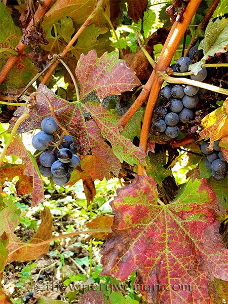 Vineyard2_9.8.18_TWW