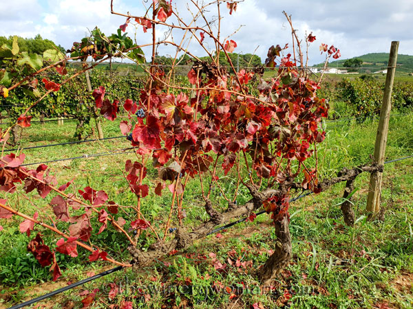 Sunday_Vineyard_Stroll22_10.14.18_TWW