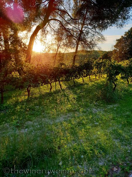 Sunlight_on_the_vineyard2_10.2.18_TWW