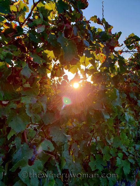 Sunlight_on_the_vineyard3_10.2.18_TWW