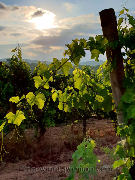 Vineyard6_7.29.18_TWW