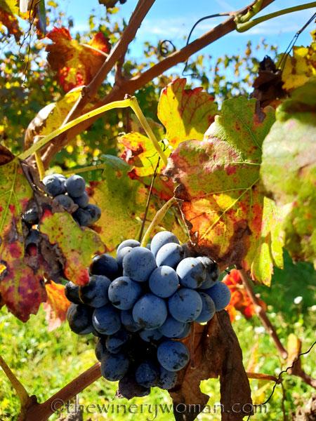 Autumn_Vineyard2_11.4.18_TWW