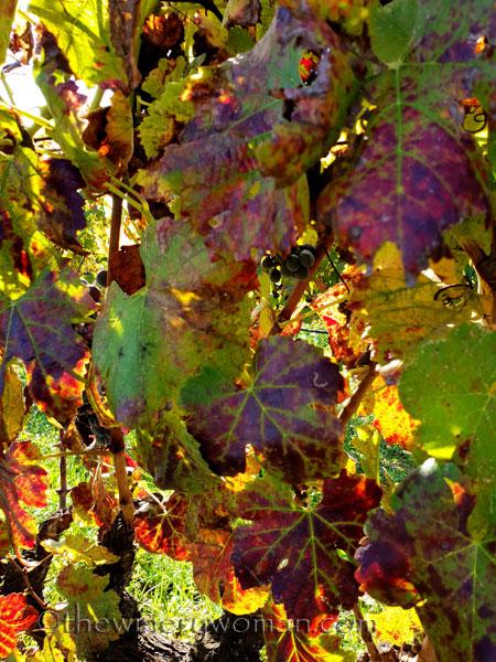 Autumn_Vineyard3_11.4.18_TWW