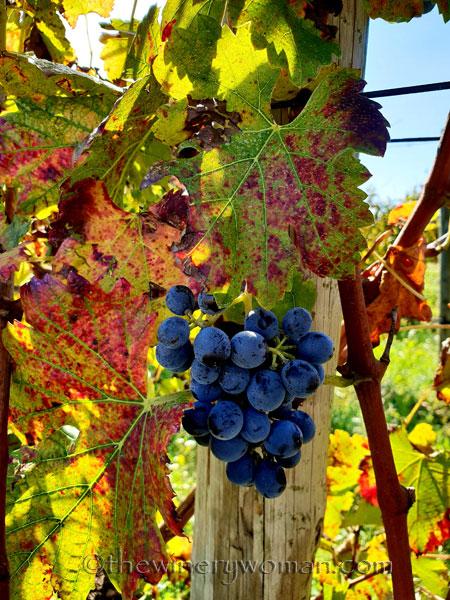 Autumn_Vineyard8_11.4.18_TWW