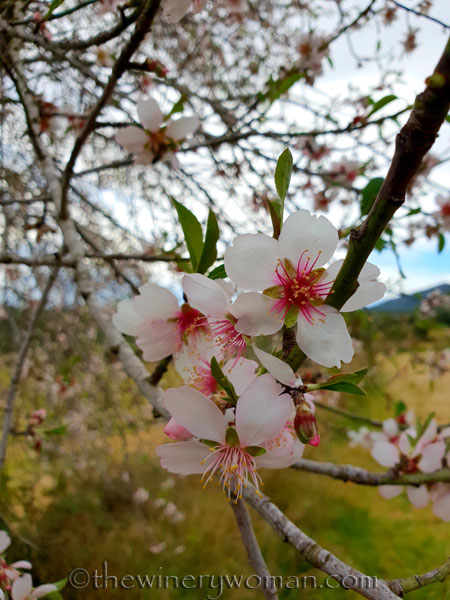 almond_blossoms10_1.31.19_tww