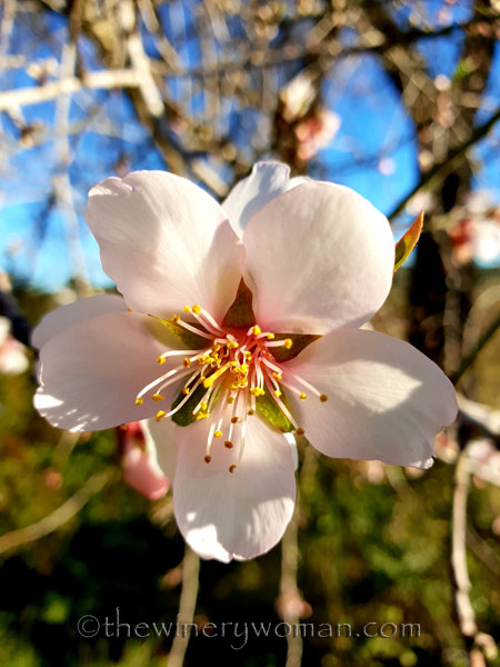 almond_blossoms10_1.6.19_tww