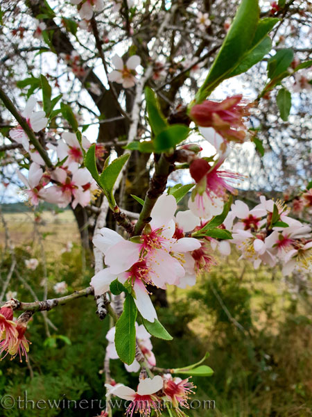 almond_blossoms11_1.31.19_tww