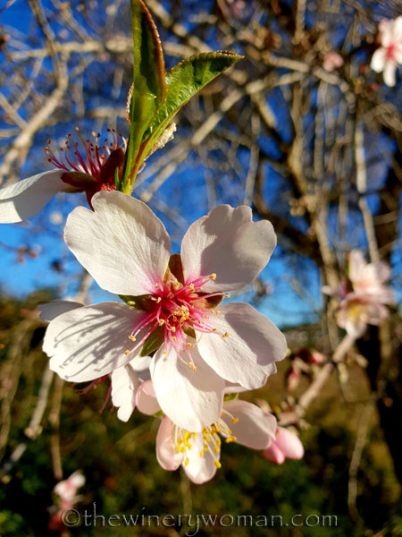 almond_blossoms11_1.6.19_tww