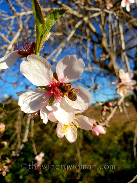 almond_blossoms12_1.6.19_tww