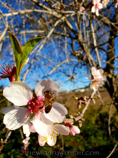 almond_blossoms13_1.6.19_tww