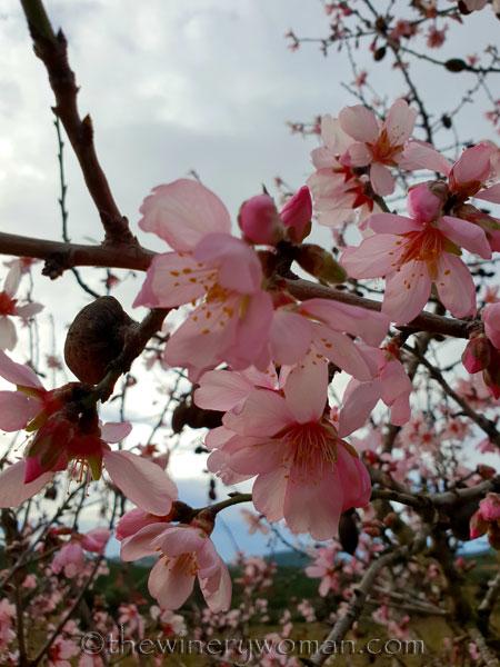 almond_blossoms2_1.31.19_tww