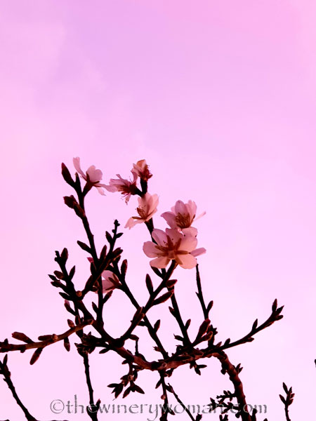 almond_blossoms2_1.4.19_tww