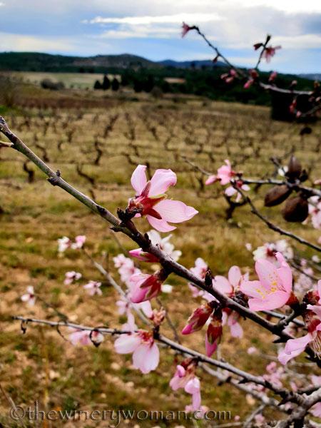 almond_blossoms3_1.31.19_tww