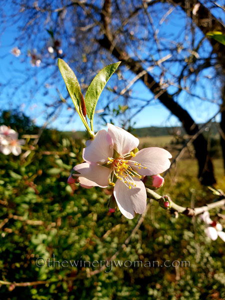 almond_blossoms3_1.6.19_tww