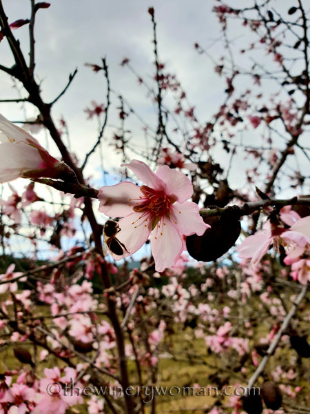almond_blossoms4_1.31.19_tww