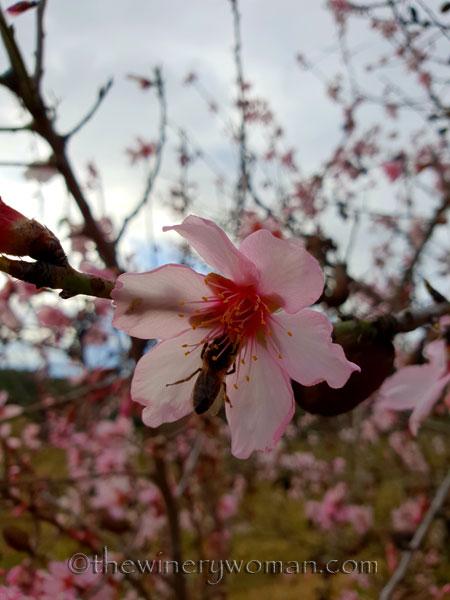 almond_blossoms5_1.31.19_tww