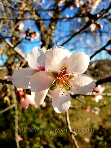 almond_blossoms5_1.6.19_tww