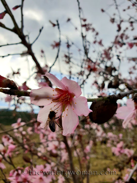 almond_blossoms6_1.31.19_tww