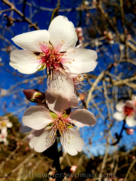 almond_blossoms8_1.6.19_tww